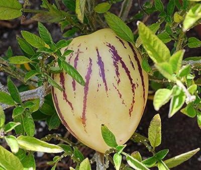 "A 8 Pepino Dulce Seeds ""Solanum Muricatum"" Pepino Melon, Melon Pear, Tree Melon"