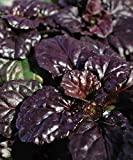 Black Scallop AJUGA Groundcover LOT of 3 POTTED