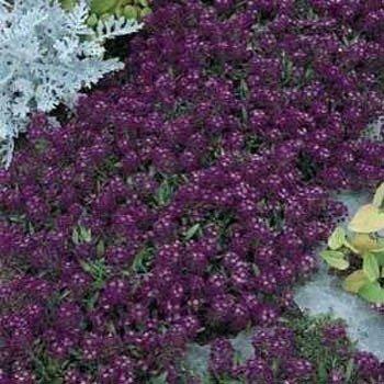 Outsidepride Alyssum Oriental Nights - 5000 Seeds ()