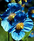Himalayan Blue Poppy 20 Seeds - Meconopsis