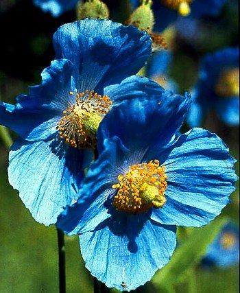 Amazon himalayan blue poppy 20 seeds meconopsis by hirts himalayan blue poppy 20 seeds meconopsis by hirts seed perennial mightylinksfo