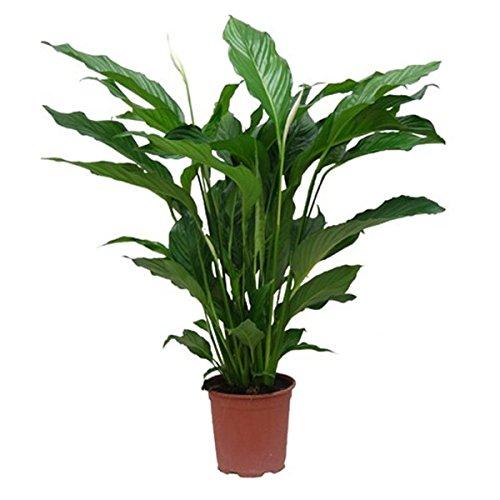 Spathiphyllum wallisii Plantas naturales para acuarios
