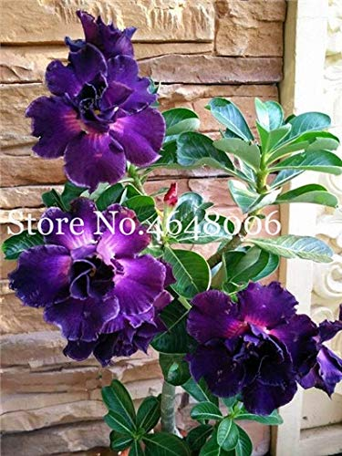 best plants for balcony Amazoncom Seed NOT Plant Best Quality Bonsai Pcs