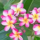 Pink Plumeria Rooted Plant - not cuttings. Fragrant Pink Rainbow - 12-14'' plant blooms this summer | Ships From Easy to Grow TM