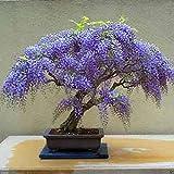 Bolusanthus-speciosus-Tree-wisteria-Elephant-Wood-Rare-3 yr bonsai specimen #G