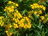 Erysimum Seeds Gold Shot Flower Seeds AIND-593