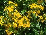 Erysimum Seeds Gold Shot Flower Seeds AIND-593