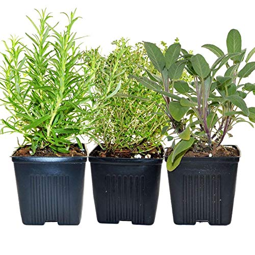 Cutdek Thyme Rosemary Sage Set of 3 Plants Herb Collection Gourmet Assortment of Organic Herbs - Great Gift Herb Kit Non-GMO by Cutdek