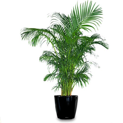 Areca Palm plant Dypsis lutescens Easy to grow!! [PF015]