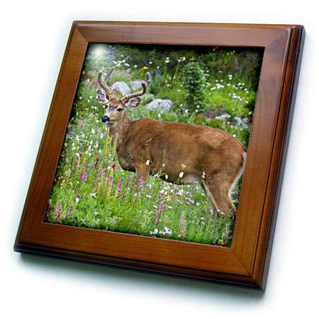 Deer Framed Tile - 3dRose Danita Delimont - Deer - Black-Tailed Deer Buck - 8x8 Framed Tile (ft_315166_1)