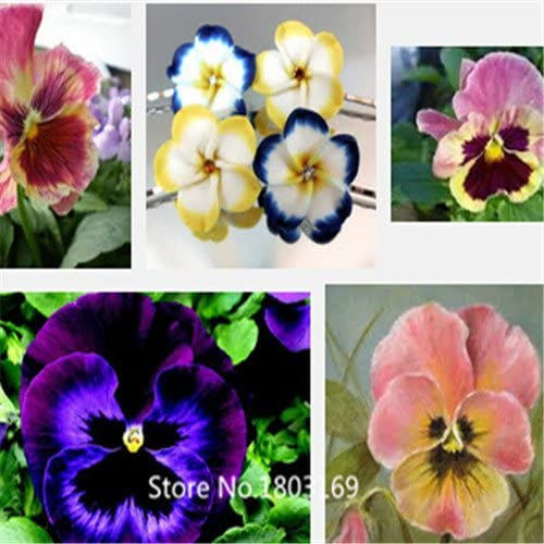 flower human face,about 100 particles 6 Rare Mix Colors Potted flower seeds Viola tricolor pansy seeds