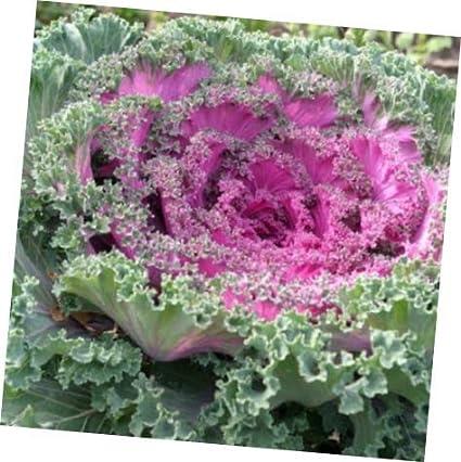 Amazoncom Flowering Kale 50 Seed Chidori Red Flowering Cabbage