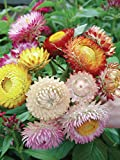 Burpee Tall Mixed Colors Strawflower Seeds 750 seeds