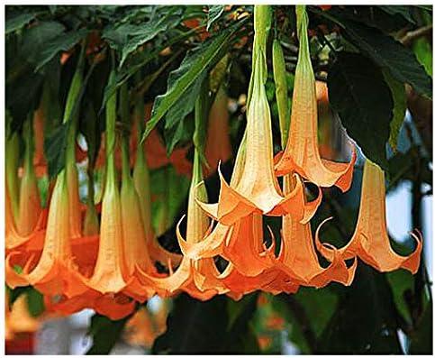 Amazon Com Orange Glory Angel Trumpet Seeds Brugmansia