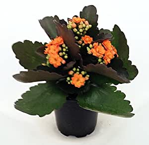 "'Christmas Rosebud Orange Kalanchoe' - Calandivia - 4"" Pot - In Bud and Bloom"