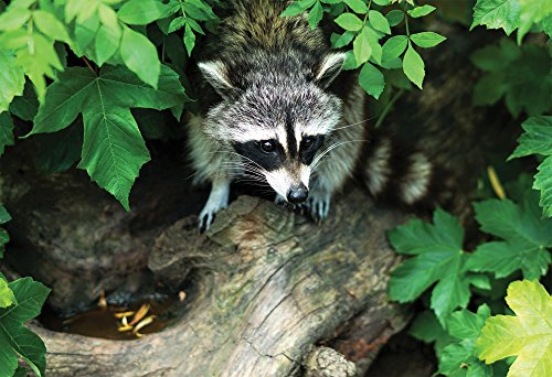 (Cute Raccoon Wildlife Animal Poster Framed Photo Picture Print - Room Decor Wall Art for Kids Baby Nursery Children (13x19 Unframed Poster))