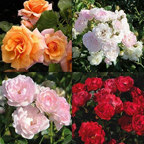 Rose Seeds rosa polyantha Polyanthus WinterHardy 10 Seeds Ukraine s0921