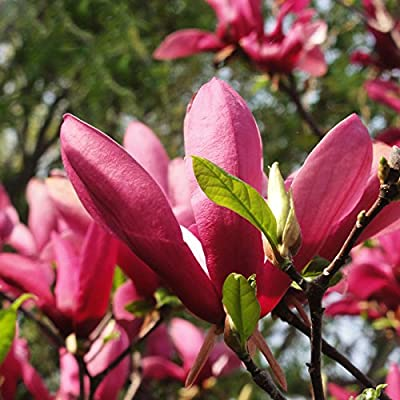 ADB Inc 100 Pcs/bag Red Magnolia Seeds Perennial Flowering Plants Potted Tree Charming Chinese Flowers : Garden & Outdoor