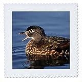 3dRose Danita Delimont - Ducks - Wood duck, female, Aix sponsa, calling, western Oregon, USA - 22x22 inch quilt square (qs_259888_9)