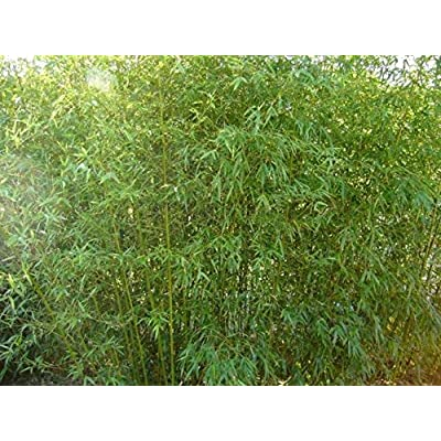 1, 000 Humilis Bamboo Seeds Phyllostachys Humilis Great Privacy Screen Bamboo Home Pot Bonsai Planted Courtyard : Garden & Outdoor