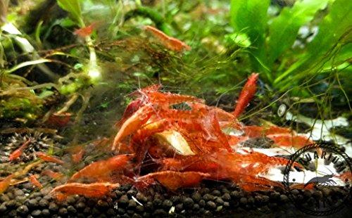 Aquarium Creation 10 Red Cherry Shrimp Neocaridina davidi Live Freshwater Aquarium Shrimp