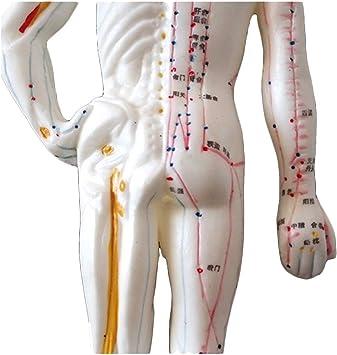 LUCKFY Medicina 26cm Mini Punto de acupuntura del Cuerpo Humano Modelo Chino del meridiano de Masaje de Todo el Cuerpo Ayuda a la formación de enseñanza médica: Amazon.es: Deportes y aire libre