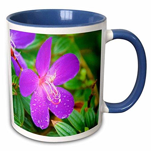 3dRose Danita Delimont - Flowers - Sai Kung A Princess flower or Glory Bush. - 15oz Two-Tone Blue Mug (mug_225586_11)
