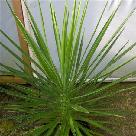 Cross Common Nursery Yucca whipplei (AGM)