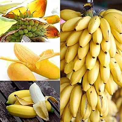 XKSIKjian's Garden, 100Pcs Mini Banana Tree Seed Delicious Fruit Balcony Bonsai Ornamental Plant Home Decor Non-GMO Open Pollinated Seeds for Planting - Mini Banana Tree Seeds : Garden & Outdoor