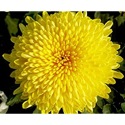 Mr.seeds 100 pcs/bag Beautiful Yellow Chrysanthemum Seeds Chrysanthemum Morifolium Seeds Flower Potted Plant for DIY Home Garden : Garden & Outdoor
