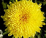 Mr.seeds 100 pcs/bag Beautiful Yellow Chrysanthemum Seeds Chrysanthemum Morifolium Seeds Flower Potted Plant for DIY Home Garden