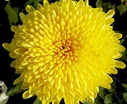 """Résultat de recherche d'images pour """"Chrysanthemum meaning"""""""