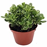 "Jade Plant - Crassula ovuta - Easy to Grow - 4"" Pot"