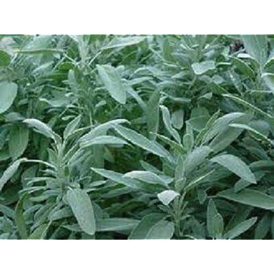 Toyensnow - Broad Leaf Sage Seeds Herb Seeds (Perennial) (100 Seeds) : Garden & Outdoor