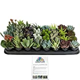 Altman Plants Assorted Live Tray mini succulents bulk for planters, 2.5'', 32 Pack