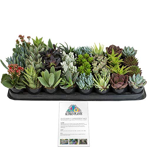 (Altman Plants Assorted Live Tray mini succulents bulk for planters, 2.5