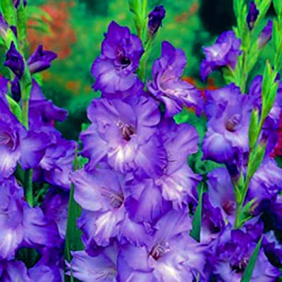 GLADIOLUS, BULB (20 PACK) BLUE MOON, STUNNING BLUE PERENNIAL GLADIOLUS BULBS, FLOWERS : Garden & Outdoor