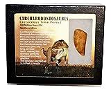 "Carcharodontosaurus Dinosaur Tooth 1.722"" Fossil African T-Rex MDB #15024 13o"