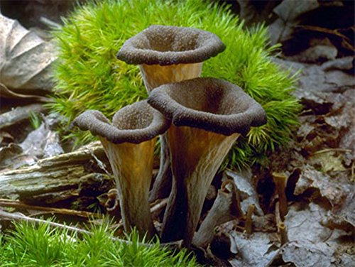 Horn Of Plenty Mushroom (Craterellus cornucopioides) Mycelium Spawn Dried Seeds (Horn Plenty)