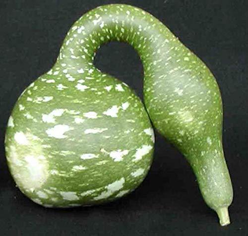 (Speckled Swan Gourd 20 Seeds Buy 2 Orders GET 1 Order Free Cucurbita Pepo #113 )