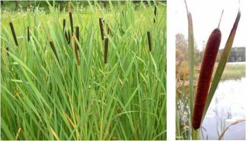 2000 seeds - Cattail - fresh this season's harvest from my own garden