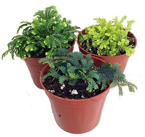 "3 Club Moss Plants - Selaginella - Terrariums, Fairy Gardens - 2"" Pots"
