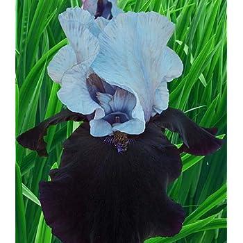 Stunning Iris Roots Bulbs Bonsai Rhizome Mixed Color Tall Bearded Flowers Plants