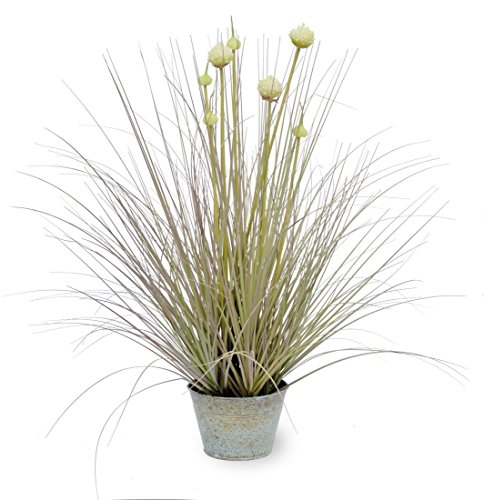 Boston International Onion Grass Plant ()