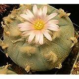 Peyote (lophophora williamsii) 10 Seeds