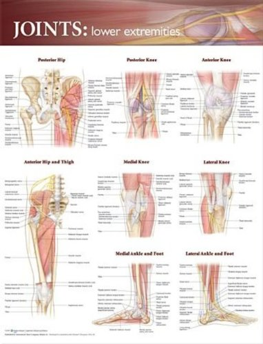 Amazon.com: Joints of the Lower Extremities Anatomical Chart ...
