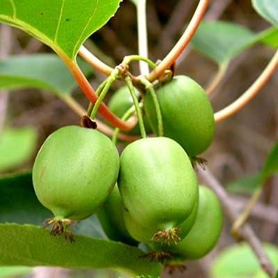 "Kiwi Fruit Hairless!""Actinidia Arguta Issai"" 5 Seeds : Fruit Plants : Garden & Outdoor"