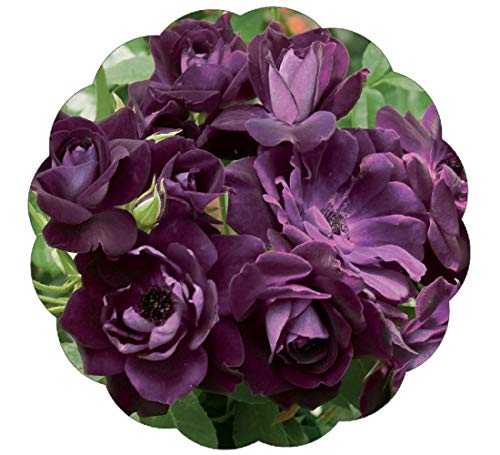 Stargazer Perennials Burgundy Iceberg Rose Plant Floribunda Deep Reddish Purple Blooms - Potted Own ()