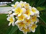 100 seeds Home Garden Frangipani PLUMERIA Rubra Lei Egg Flower Seeds semillas de flores