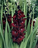 Van Zyverden Gladiolus - Large Flowering Black Beauty - Set of 12 Bulbs, Blackish
